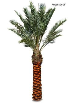 7 Best Date Palms Images Palm Trees