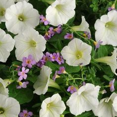 Cloud N' Sky Fuseables petunia bacopa seeds - Garden Seeds - Annual Flower Seeds