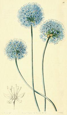 Allium caeruleum : Bot. Reg. xxvi, 51 (1840)