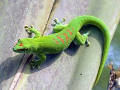 Madagaskar Gecko von canonandy Lovely Creatures, All Gods Creatures, Guinea Pig Toys, Guinea Pigs, Veiled Chameleon, Reptile Cage, Reptile Enclosure, Exotic Fish, Tier Fotos