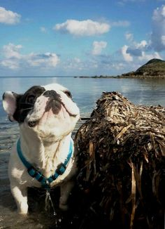 'Ahhhhhhh, Smell those Stinky Fishys', French Bulldog at the Beach. ❤️