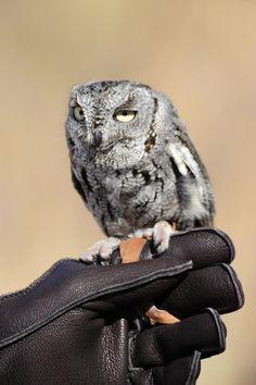 Western Screech Owl, Owls, Westerns, Bird, Animals, Animales, Animaux, Birds, Owl