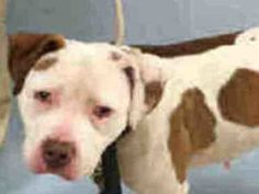 TO BE DESTROYED  12/06/16  **PUBLICLY ADOPTABLE** My name is PINK. My Animal ID # is A1097063. I am a female white and brown pit bull mix. The shelter thinks I am about 2 YEARS old.  I came in the shelter as a STRAY on 11/17/2016 from NY 10303, owner surrender reason stated was BITEPEOPLE.