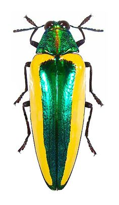 Sells good quality insects specimens from around the world. Including coleoptera, lepidoptera, beetles, butterflies and more. Many excellent insects pictures. Beetle Insect, Insect Art, Bug Insect, Cool Insects, Bugs And Insects, Beautiful Creatures, Animals Beautiful, Vans Vw, Mantis Religiosa