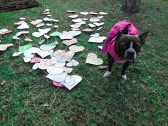 "cut over 100 hearts in 2 sizes- 1 medium size and 1 small. Used thick yarn and scotch tape to get hang them. ""puppy love"" boston terrier valentine's day photo shoot in the park 2014 give love away it's free"