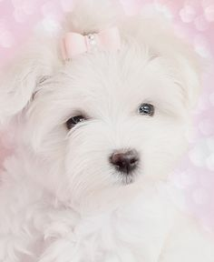 """Maltese Puppy """"What a Sweetheart"""" <3 <3"""