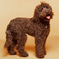 This dog looks almost identical to our Andie bear! Labradoodle - article about best big dogs for families Chocolate Labradoodle, Labradoodle Haircuts, Labradoodle Dog, Cockapoo, Hyperallergenic Dogs, Dogs And Puppies, Doggies, Best Dogs For Families, Dog Breeds