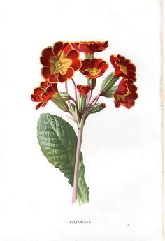 1887 Antique Botanical Print Polyanthus Lithograph Original Art Vintage Flower Home Decor