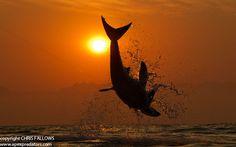 Great White Shark (Carcharodon carcharias) breaching, False Bay, near Cape Town, South Africa. Photo by Chris Fallows, www.apexpredators.com