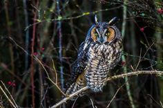 Long-Eared Owl After Sunset... photo by Loren Mooney