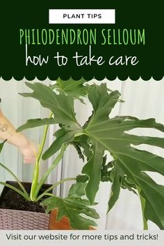 Balcony Plants, House Plants Decor, Outdoor Plants, Dracaena Plant, House Plant Care, Zz Plant Care, Corn Plant, Plantar, Cleaning Tips