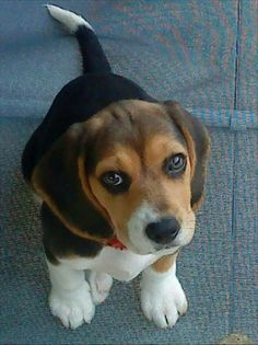 Are you interested in a Beagle? Well, the Beagle is one of the few popular dogs that will adapt much faster to any home. Whether you have a large family, p Baby Beagle, Beagle Puppy, Cute Beagles, Cute Puppies, Dogs And Puppies, Labrador Golden Retriever, Labrador Retrievers, Cute Baby Animals, Animals And Pets