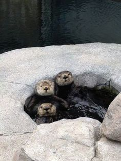 Watch our sea otters live. (Thanks to sea otter aquarist Cecelia Azhderian for the fun photo. Baby Puppies, Dogs And Puppies, Beautiful Creatures, Animals Beautiful, Baby Animals, Cute Animals, Wild Animals, Otter Love, Monterey Bay Aquarium