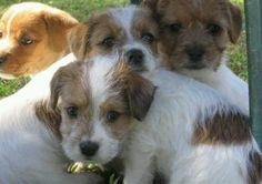 Rough coat jack Russell pups! Love them!