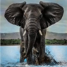 It's a picture gallery some of myself, pictures for content pictures for all occasions. Elephant Love, Elephant Art, African Elephant, African Animals, Elephant Drawings, Elephants Photos, Elephant Pictures, Baby Elephants, Elephant Tattoo Design