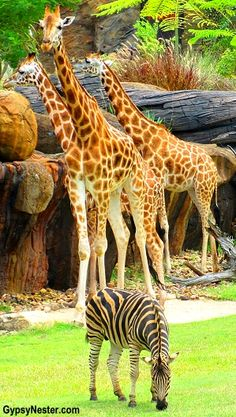 Giraffes and zebras! See more: http://www.gypsynester.com/australia-zoo.htm #travel #photography