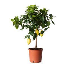 CITRUS Ruukkukasvi, sitruuna