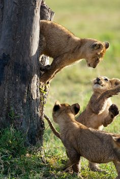 Lion cubs playing - Masai Mara, Kenya One of my favorite places on earth, it is heaven