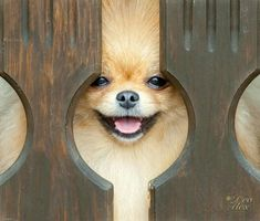 Marvelous Pomeranian Does Your Dog Measure Up and Does It Matter Characteristics. All About Pomeranian Does Your Dog Measure Up and Does It Matter Characteristics. Pomeranian Facts, Pomeranian Breed, Pomeranians, Small Pomeranian, Teacup Pomeranian, Pomsky, Chihuahuas, Animals And Pets, Softies