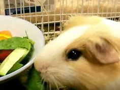 Food you can and cannot feed your Guinea pig. - YouTube