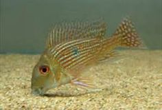 Geophagus species