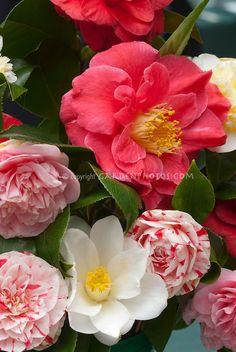 Camellias | Plant & Flower Stock Photography: GardenPhotos.com