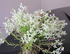 Phymatidium delicatulum