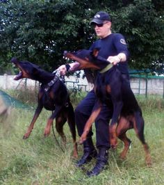 working dobermans