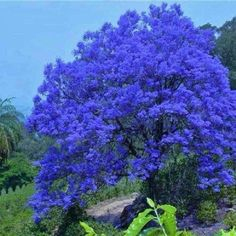 Mall~Kerala : 25 Seeds of Beautiful Blue Jacaranda Neeli Gulmohur Jacaranda Mimosifolia Tree for Growing Beautiful Landscapes, Beautiful Gardens, Weird Trees, Way To Heaven, Cottage Garden Plants, Autumn Scenery, Colorful Trees, Flower Aesthetic, Plant Sale