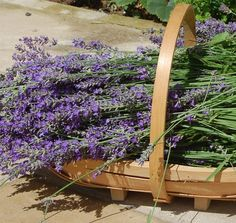 Heavenly summer lavender from our garden in Frome.