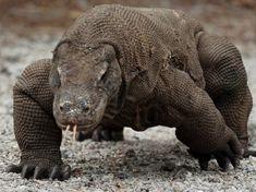 THE DRAGON. the left dinosaurus.with toxic saliva.in Komodo island . Reptiles And Amphibians, Mammals, Komodo Island Tour, Animal Pictures, Cute Pictures, Komodo National Park, Dangerous Animals, Animal Kingdom, Beast