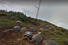 Come hang with Galápagos tortoises on Google Street View
