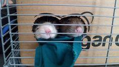 A midday box-snuggle #aww #cute #rat #cuterats #ratsofpinterest #cuddle #fluffy #animals #pets #bestfriend #ittssofluffy #boopthesnoot
