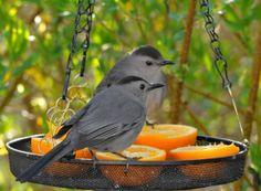 Gray Catbird | Petals and Wings