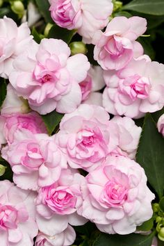 Proven Winners - Rockapulco® Appleblossom - Double Impatiens - Impatiens walleriana pink plant details, information and resources. Shade Flowers, Pink Flowers, Beautiful Flowers, Impatiens Flowers, Shade Annuals, Shade Plants, Vegetable Garden For Beginners, Gardening For Beginners, Vegetable Gardening