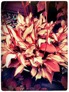 Red Hostas | Recent Photos The Commons Getty Collection Galleries World Map App ...