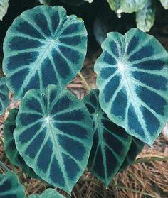 "Colocasia heterochroma 'Dark Shadows' (Yunnan Dwarf Elephant Ear) -- part sun to light shade; 8"""