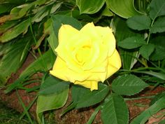 Yellow Rose From Cutting