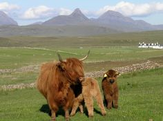The only thing cuter than a scottish highland cow is a BABY scottish highland cow!