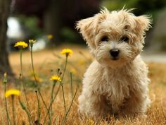 MORKIES are the adorable result of breeding a purebred Yorkshire Terrier with a purebred Maltese.