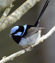 Superb Fairy Wren (D Cook COGS). Frequently seen on our front fence in 2013 darting down to the mulch