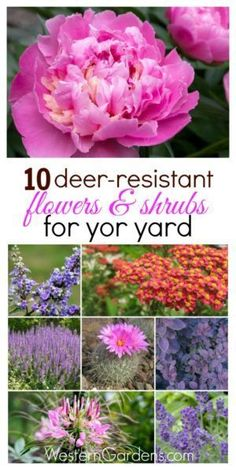 Deer-Resistant Plants Are deer eating everything you plant? Try these 10 deer-resistant plants, your landscape will thank you!Are deer eating everything you plant? Try these 10 deer-resistant plants, your landscape will thank you! Deer Resistant Landscaping, Deer Resistant Garden, Deer Resistant Perennials, Sun Perennials, Garden Shrubs, Shade Garden, Lawn And Garden, Garden Plants, Deer Garden