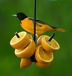 Attract new varieties of birds with fruit!  Place grapes, oranges, apples, even pieces of banana on this simple skewer and attract beautiful fruit eating birds to your yard.  Robins, mockingbirds, tanagers, orioles and grosbeaks are a few of the birds that crave a meal of juicy, vitamin-rich fruit. Duncraft.com: Metal Fruit Feeder