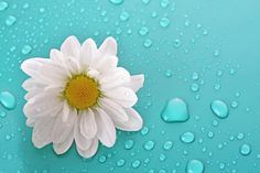 White camomile Wall Mural   Eazywallz