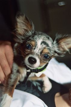 1000 ideas about merle chihuahua on pinterest