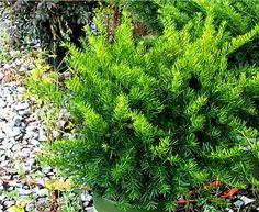 Fantastic Plants: Taxus x media 'Dark Green Spreader'<BR>Dark Green Spreading Yew