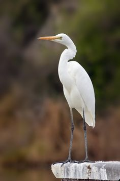 The Eastern Great Egret (Ardea alba modesta), a white heron in the genus Ardea, is a subspecies of the Great Egret (A. alba). It was first described by British ornithologist John Edward Gray in 1831.