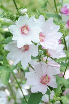 """Lavatera 'Barnsley' - A Tree Mallow. Vigorous, upright, bushy semi-evergreen shrub; heart-shaped grey-green leaves, bears loads of white hollyhock-like flowers with a pink blush all summer & fall. It is usually cut back hard each spring to about 6"""" . Plants may staking in especially windy areas. In Zones 5- 6  mulch base for the winter. Full sun & average water, zones 5-9. Reaches 6' tall, 5' wide"""