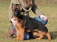 German Shepherd Puppy Bardzo Bardzo vom Grunwald Haus #germanshepherd