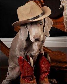 Weimaraner Cowboy